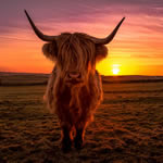 sunset cow