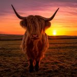 sunset-cow-1024x753